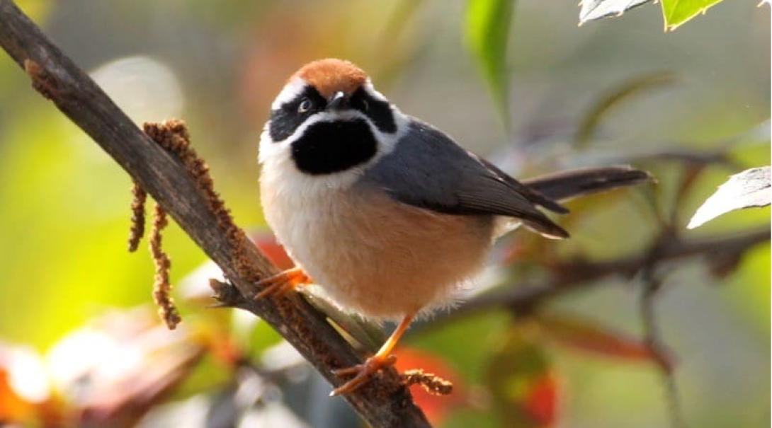 Kartläggning av fågellivet är en viktig del av arbetet som naturskyddsvolontär i Himalaya
